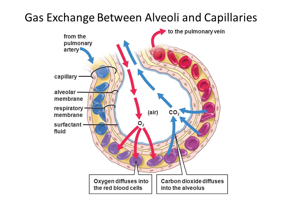 Image result for alveolar gas exchange