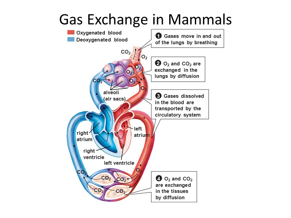 Respiration chapter 32 pages ppt download gas exchange in mammals ccuart Gallery