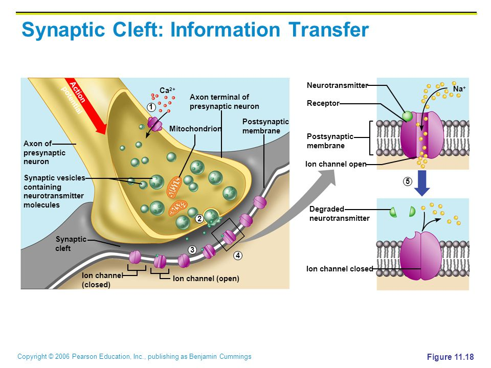 Synaptic Cleft: Information Transfer