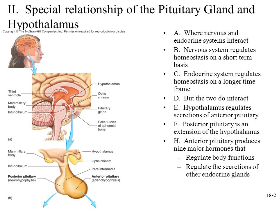 function of hypothalamus and pituitary relationship