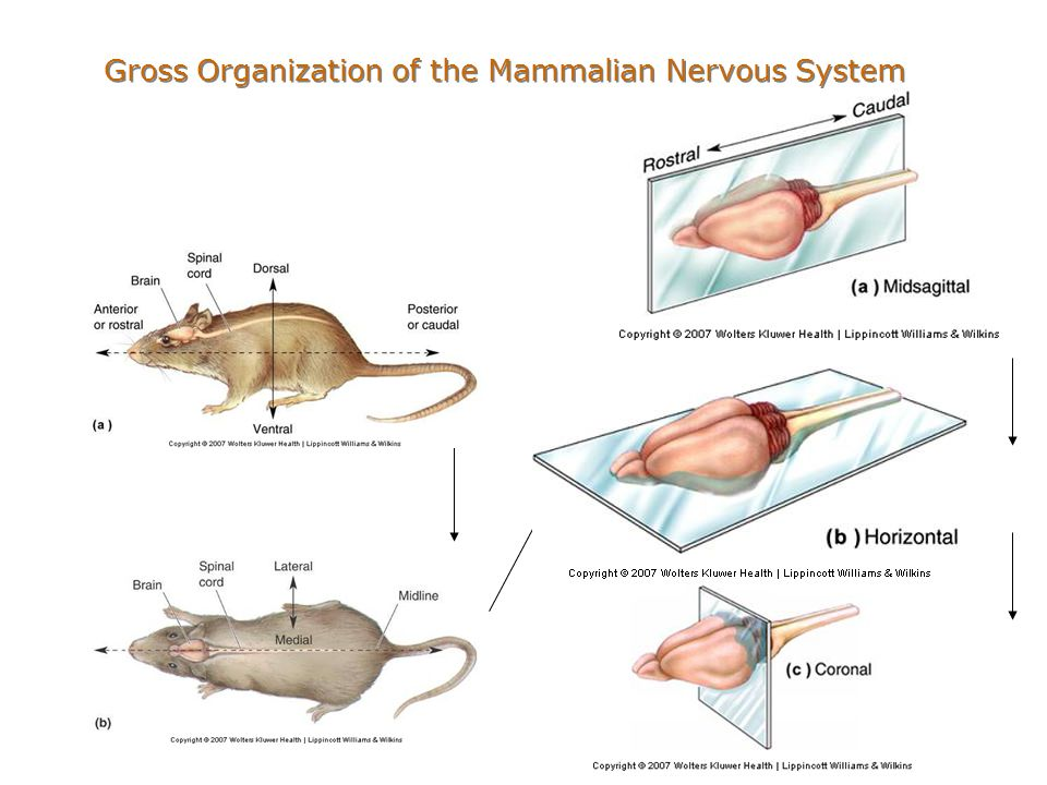 Chapter 7 the structure of the nervous system ppt video online 5 gross organization of the mammalian nervous system ccuart Gallery