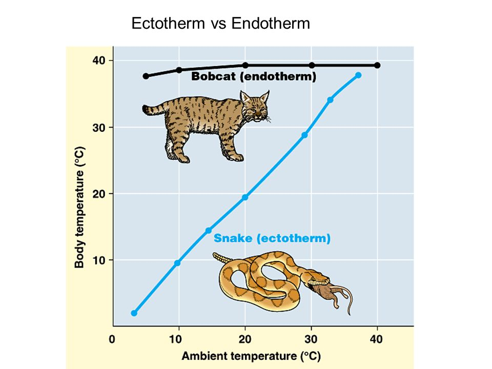 simulated thermoregulation in endotherms and ectotherms Thermoregulation is the process by which animals maintain an internal temperature within a tolerable range most all chemical and physiological processes are very sensitive to change in body temperature, therefore, thermoregulation is crucial to animals.