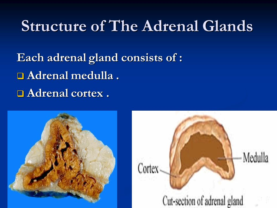 Structure of The Adrenal Glands