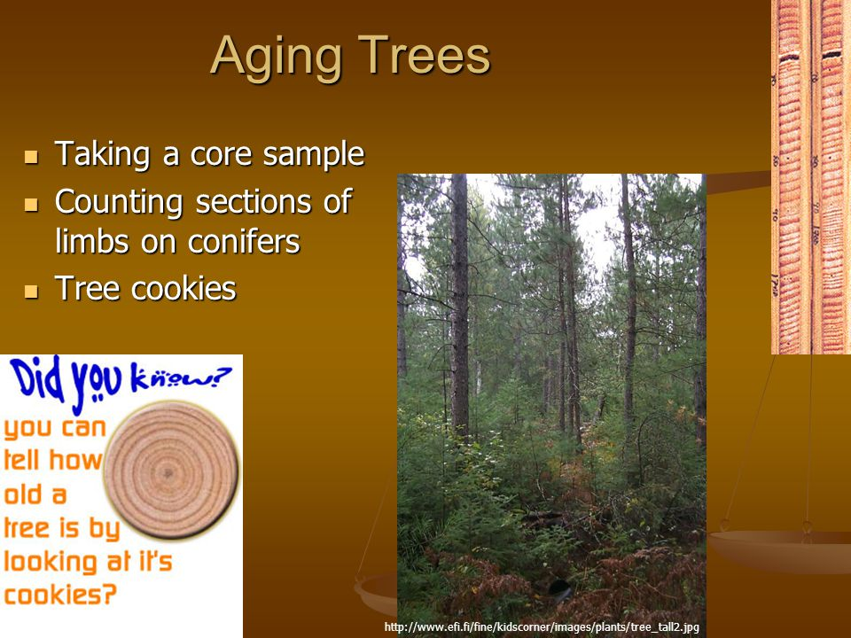 Aging Trees Taking a core sample