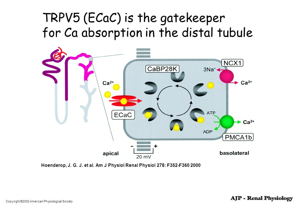 TRPV5 (ECaC) is the gatekeeper for Ca absorption in the distal tubule