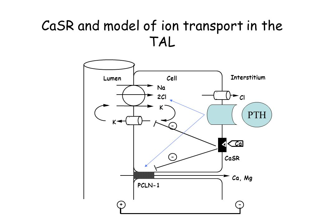 CaSR and model of ion transport in the TAL