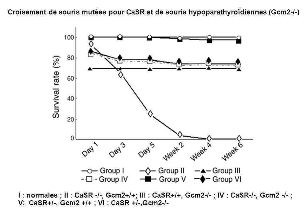 Croisement de souris mutées pour CaSR et de souris hypoparathyroïdiennes (Gcm2-/-)