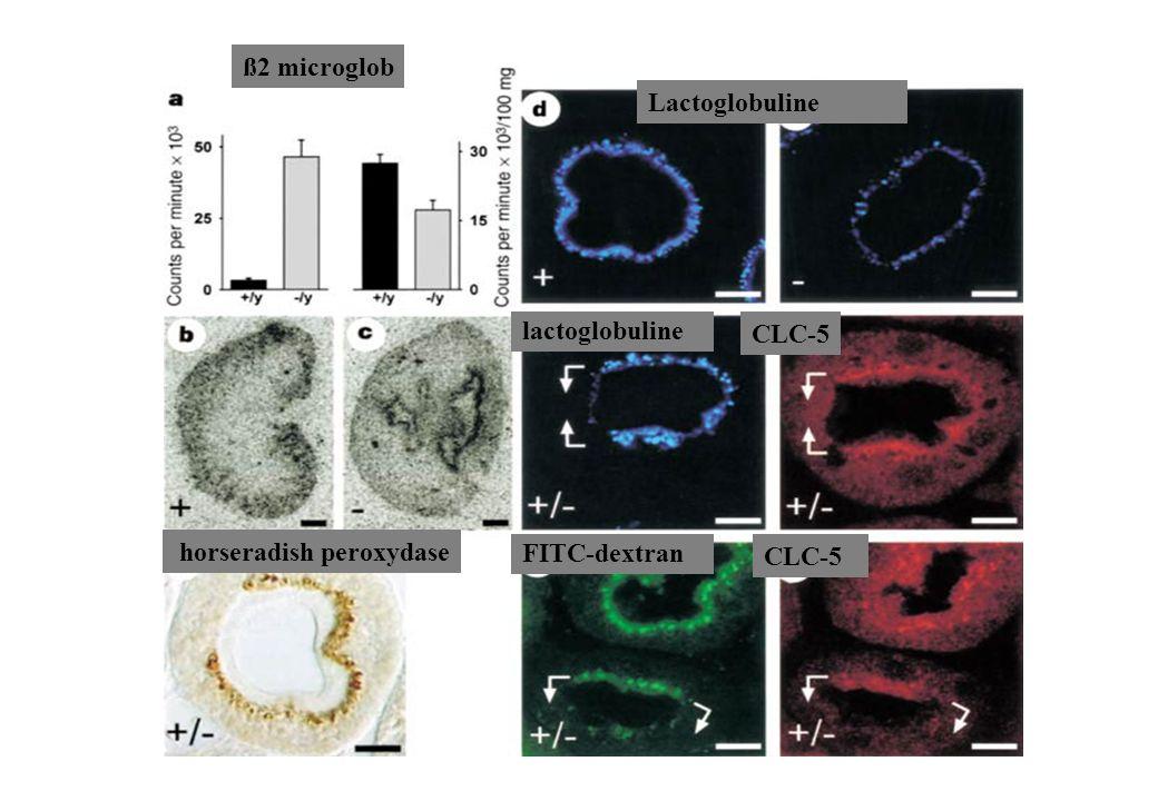ß2 microglob Lactoglobuline lactoglobuline CLC-5 horseradish peroxydase FITC-dextran CLC-5