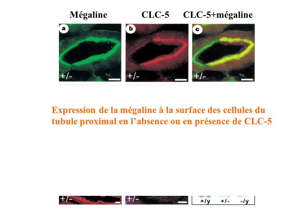 Mégaline CLC-5. CLC-5+mégaline.