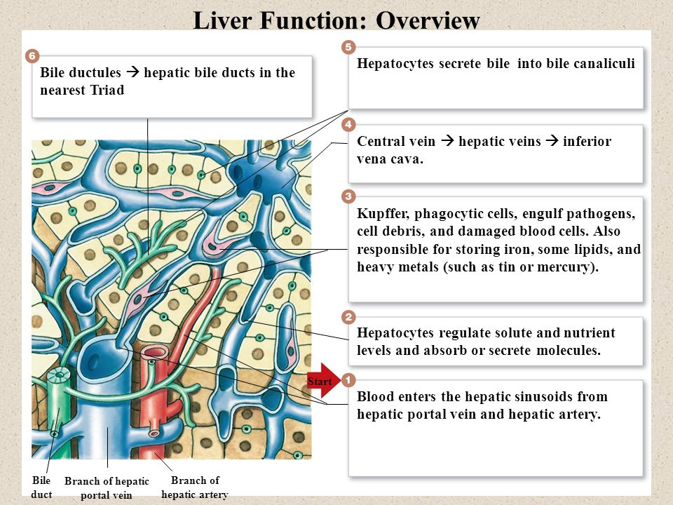 Liver Function: Overview