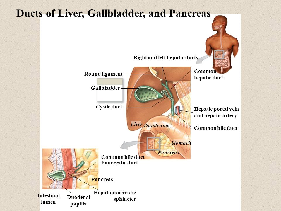 Ducts of Liver, Gallbladder, and Pancreas