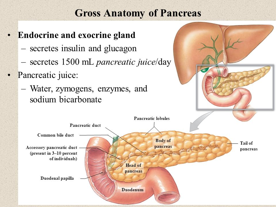 Gross Anatomy of Pancreas