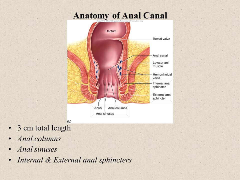 Anatomy of Anal Canal 3 cm total length Anal columns Anal sinuses
