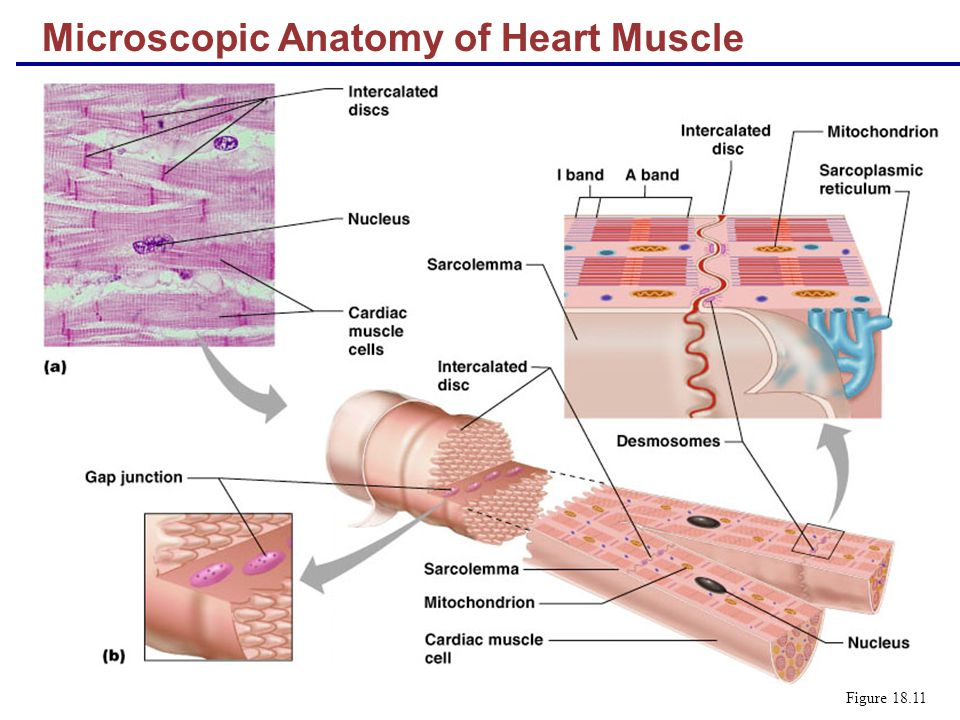 Microscopic Anatomy of Heart Muscle - ppt video online download