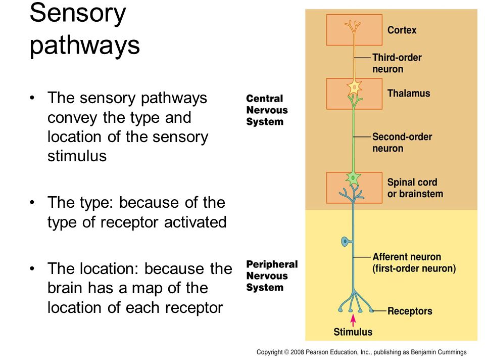 Sensory System Transmits sensory information collected by ...