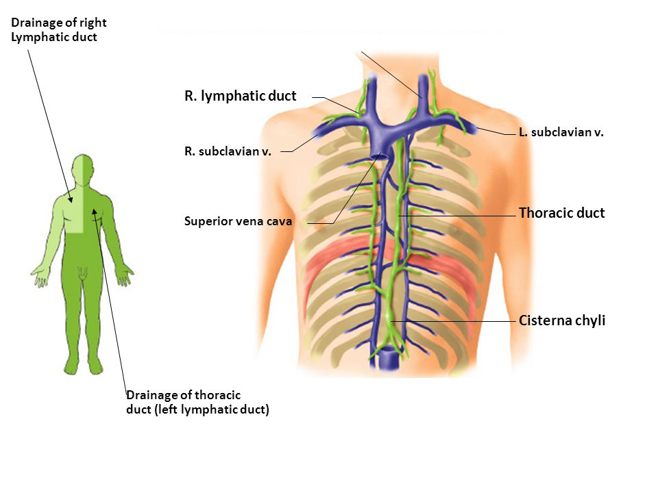 mary jane found a pea shaped lump in the upper outer quadrant of, Human Body