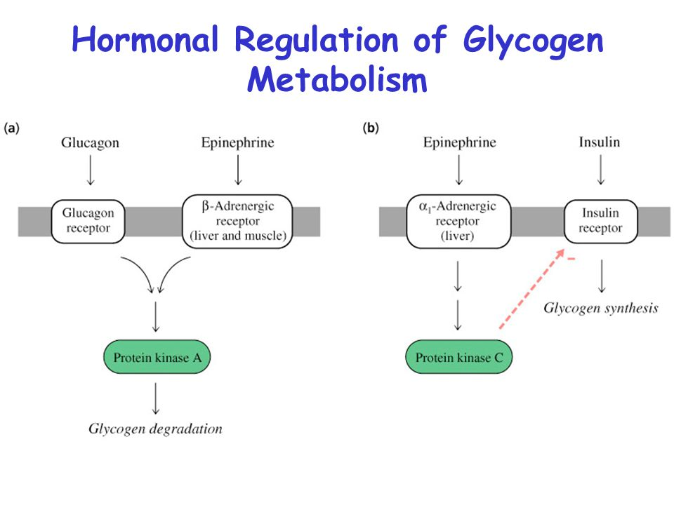 glycogen sythesis Glycogenesis is the synthesis process of glycogen in liver in this process, there are 6 steps involved glucogenin is the glycogen primer helps to grows.