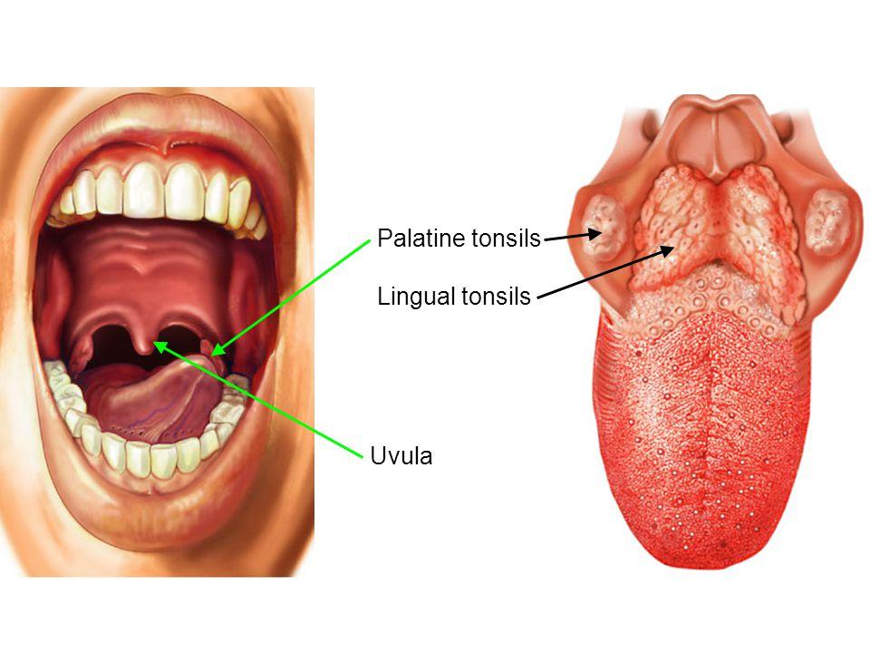 palatine tonsils