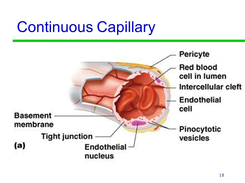 3 Types Of Capillaries Plus Interesting Facts