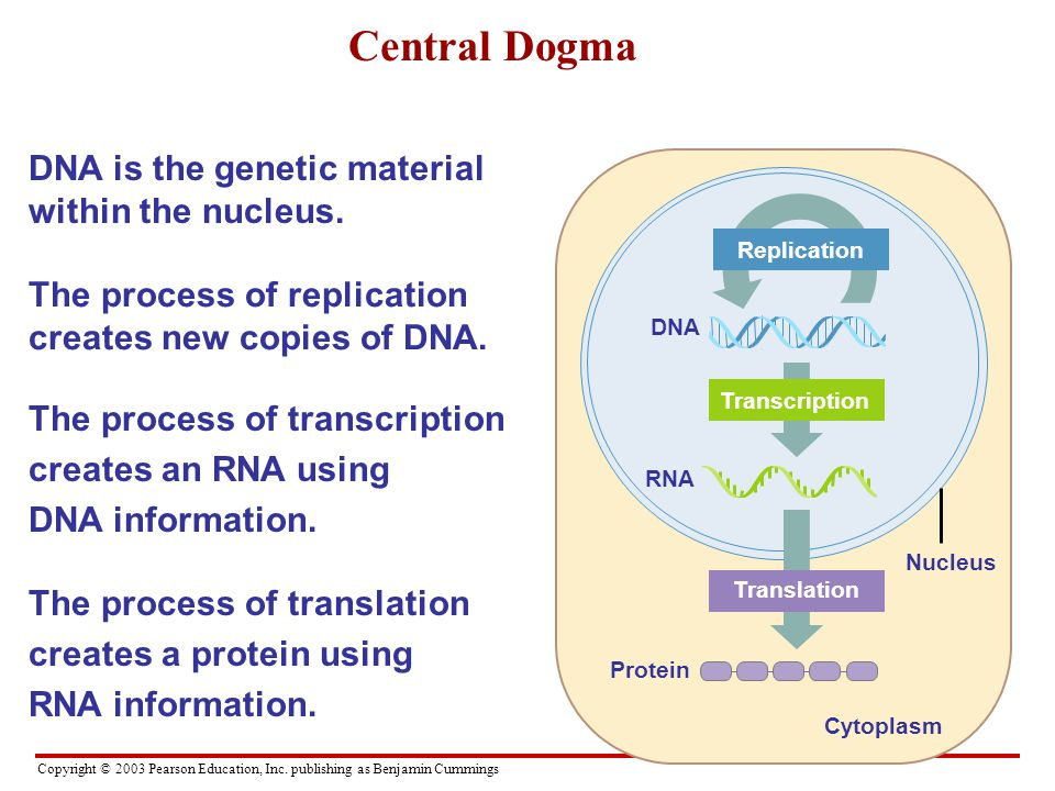 Central Dogma Dna Is The Genetic Material Within The Nucleus Ppt