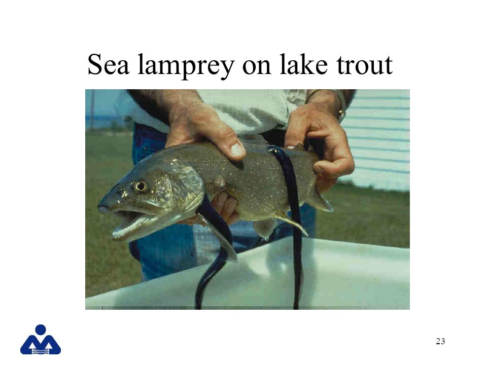 sea lamprey and trout relationship