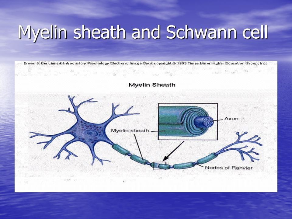 Myelin sheath and Schwann cell