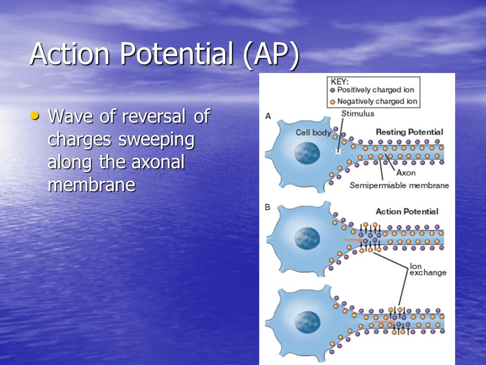 Action Potential (AP) Wave of reversal of charges sweeping along the axonal membrane