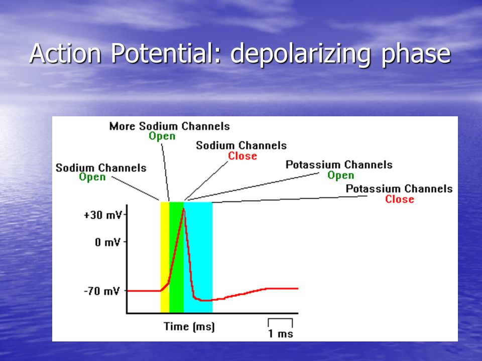 Action Potential: depolarizing phase