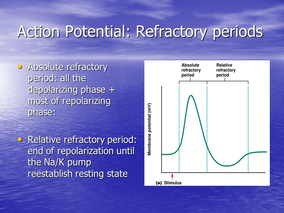Action Potential: Refractory periods