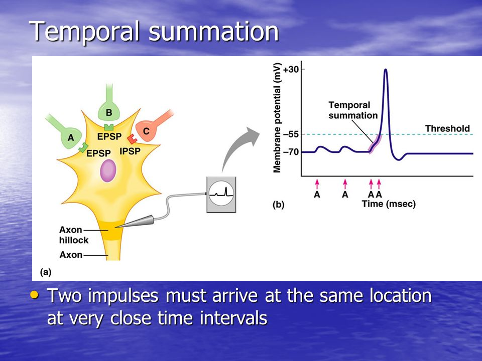Temporal summation Two impulses must arrive at the same location at very close time intervals