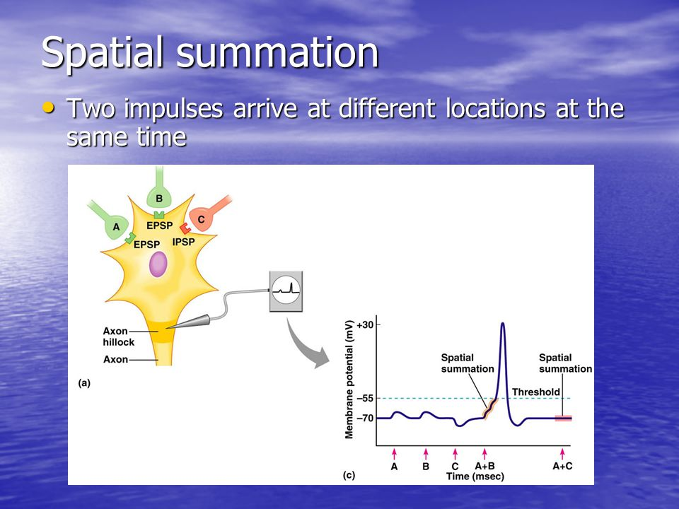 Spatial summation Two impulses arrive at different locations at the same time