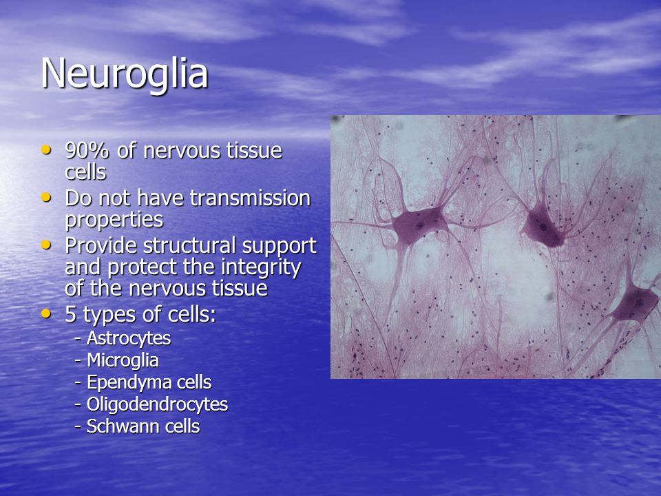 Neuroglia 90% of nervous tissue cells