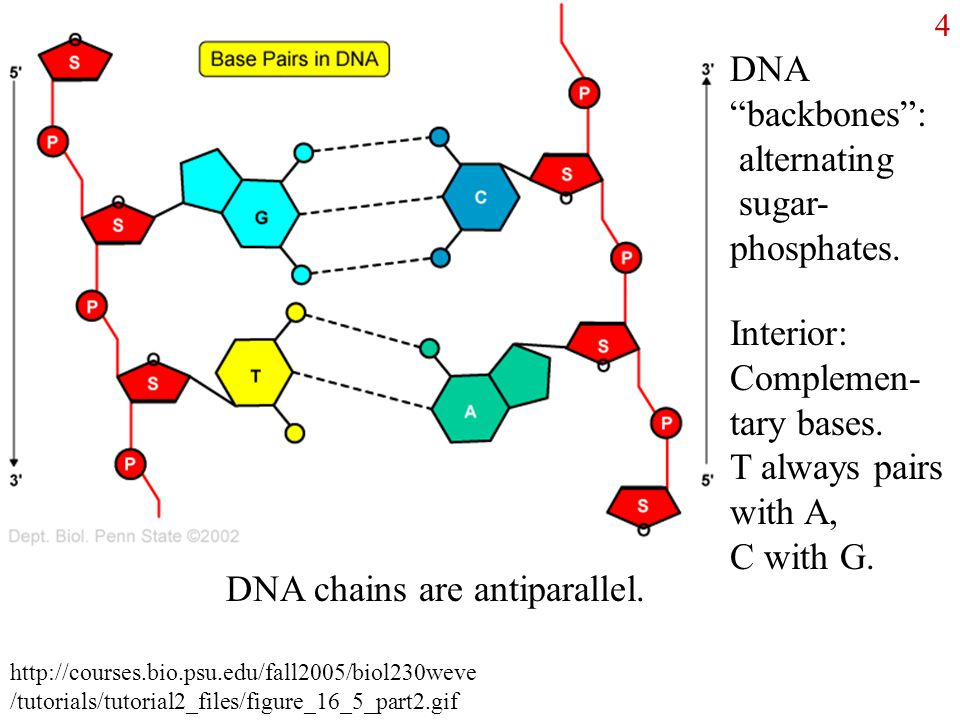 dna structure chains 6/21/01 lecture #1 - protein and dna structure proteins (or polypeptides) are formed from amino acids two amino acids may combine in a condensation reaction (a molecule of water is lost) to form a dipeptide (polypeptide.