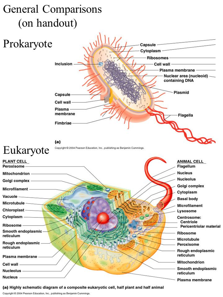 Functional anatomy of prokaryotic and eukaryotic cells