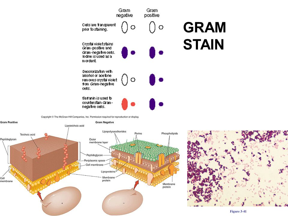 gram positive unknown lab report Essays - largest database of quality sample essays and research papers on gram positive unknown lab report.