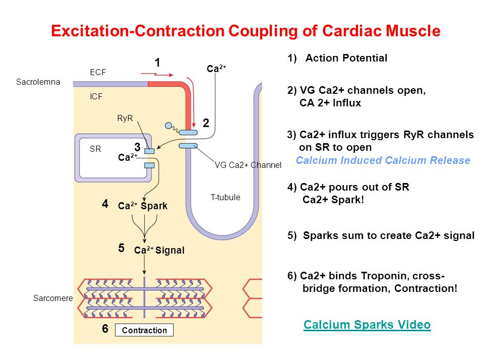 excitation contraction coupling Excitation-contraction coupling: some of the most important differences between skeletal muscle and smooth muscle occur in excitation-contraction coupling one element that is the same between the two forms of muscle is that calcium plays a.