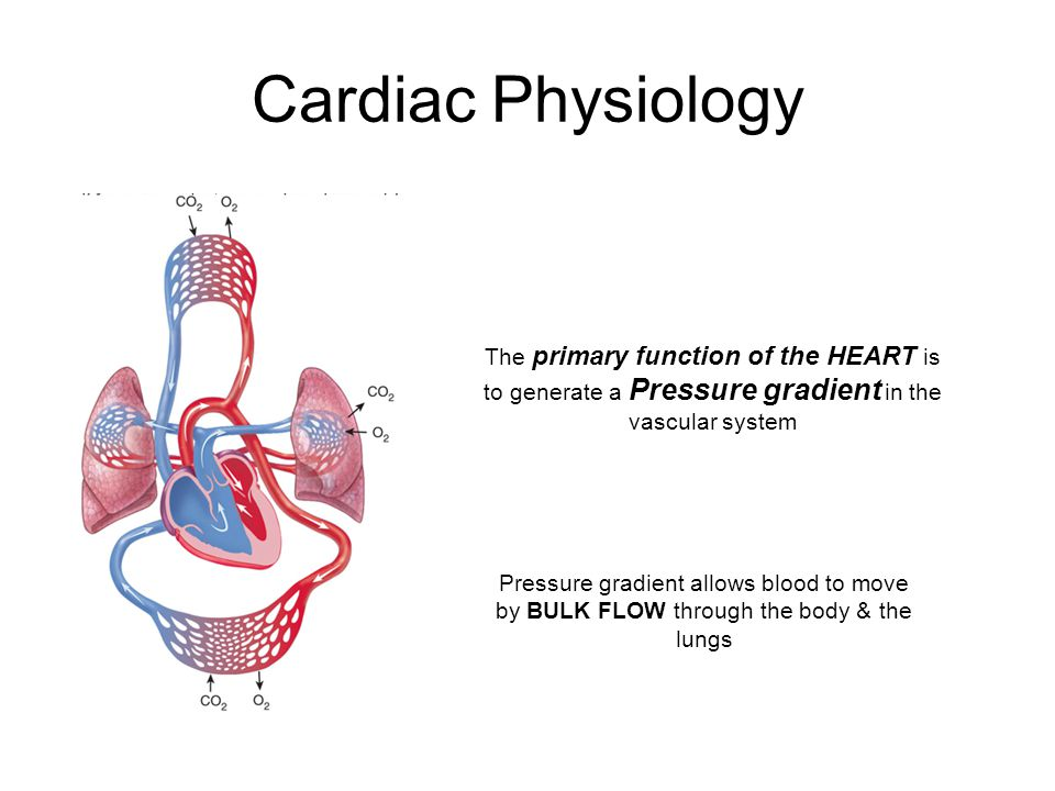 physiology of the heart Buy physiology of the heart 5th revised edition by arnold m katz (isbn:  9781608311712) from amazon's book store everyday low prices and free  delivery on.