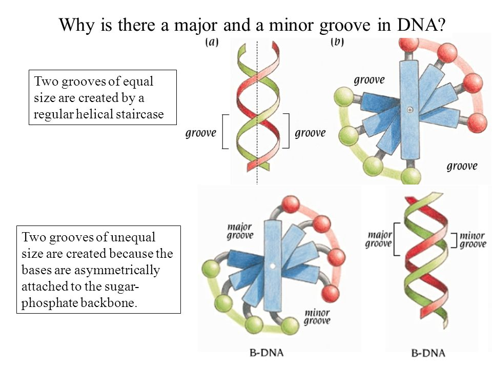Why does DNA form a double helix