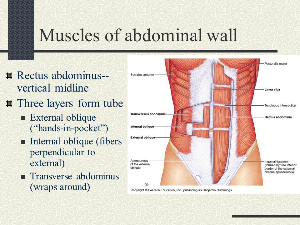 Abdominal wall anatomy ppt