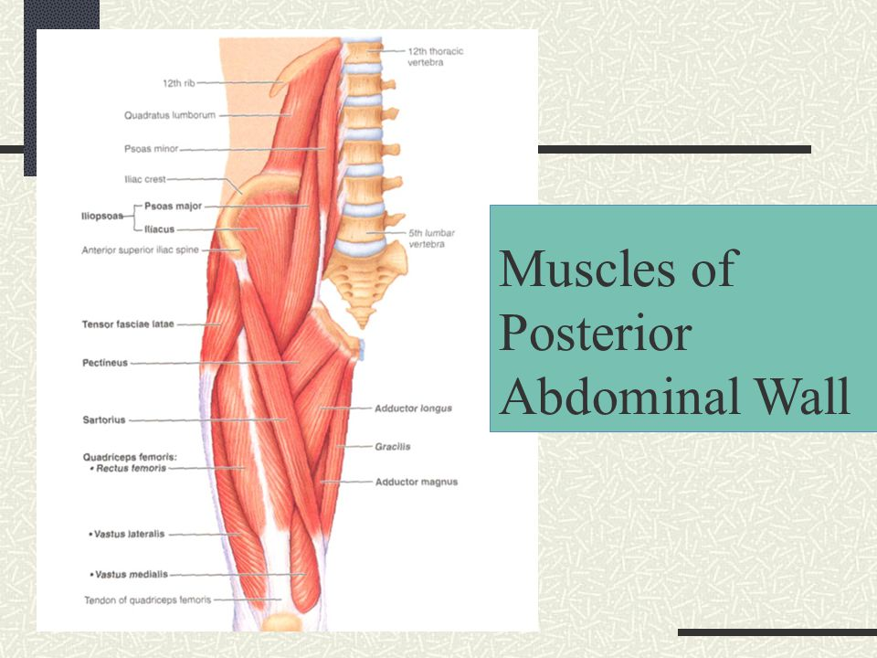 Abdominal wall and cavity ppt video online download 6 muscles of posterior abdominal wall ccuart Images