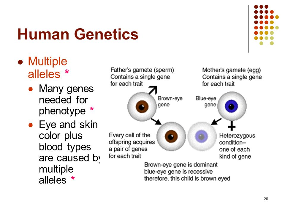Chromosome Theory And Human Genetics Ppt Video Online