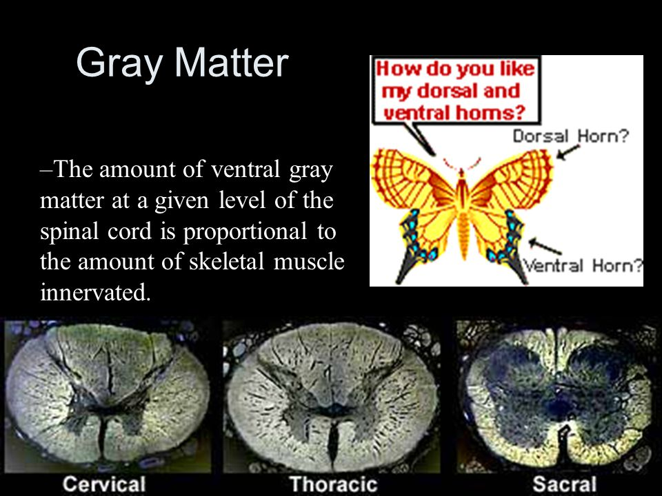 55 Gray Matter The amount of ventral gray matter at a given level of the spinal  cord is proportional to the amount of skeletal muscle innervated.