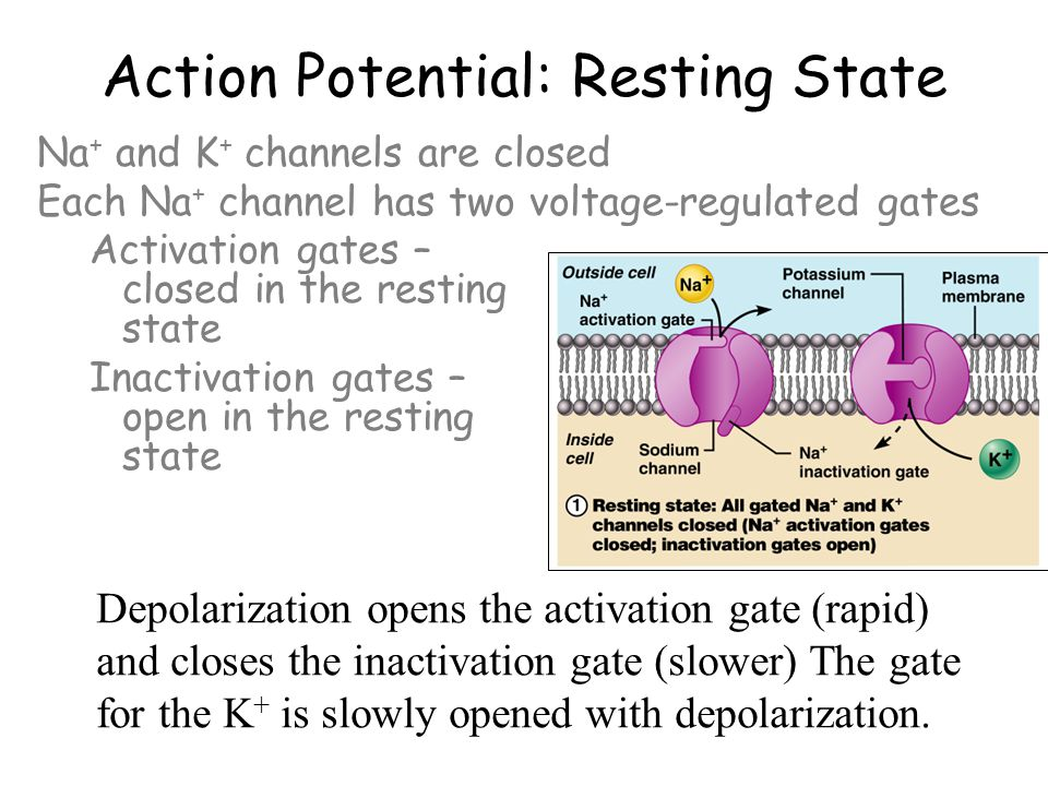 Inactivation gate action potential physical therapy