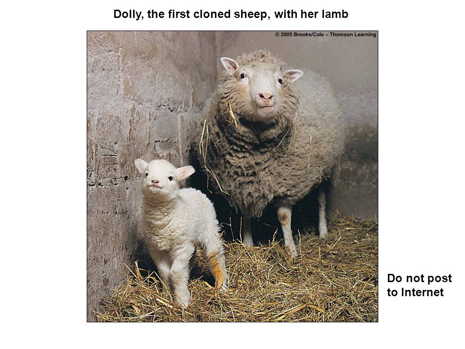 Dolly, the first cloned sheep, with her lamb