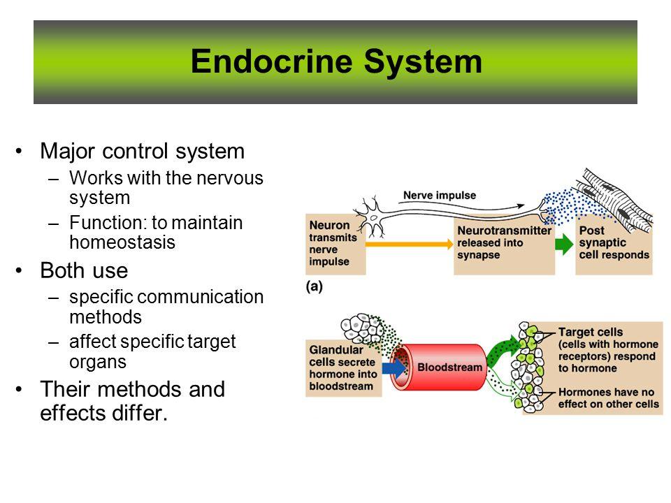 Wunderbar Endokrine System Anatomie Und Physiologie Ppt Bilder ...
