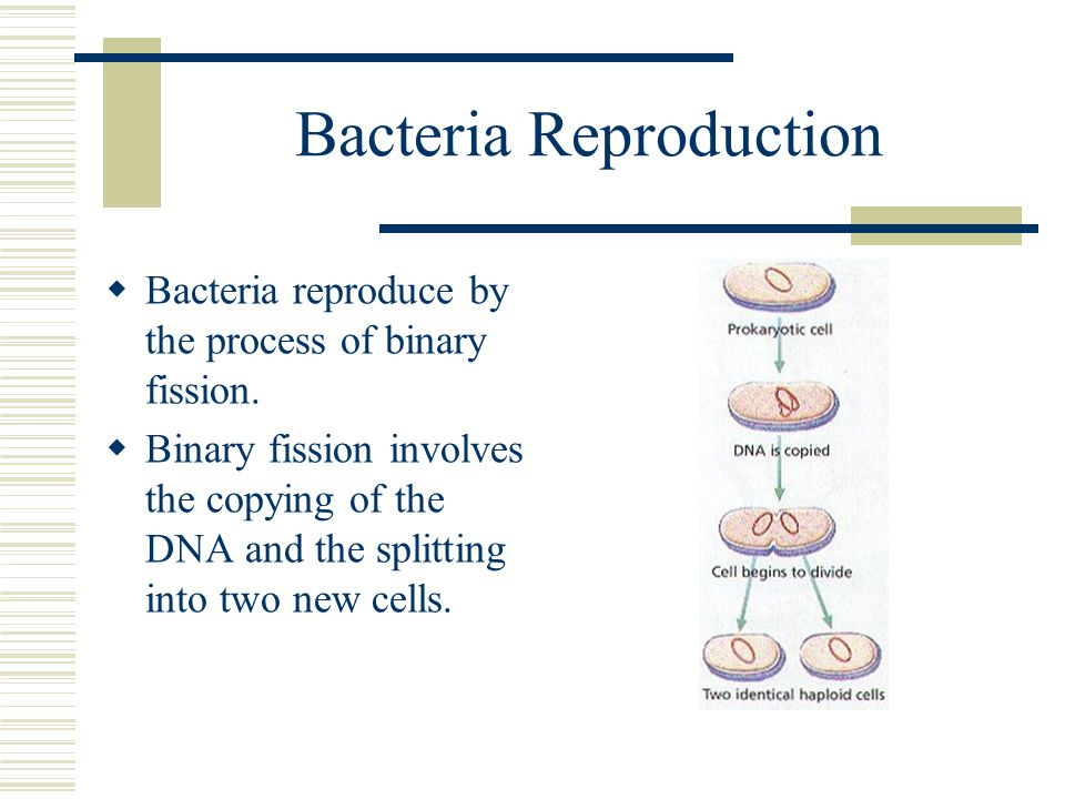 Bacteria Reproduction