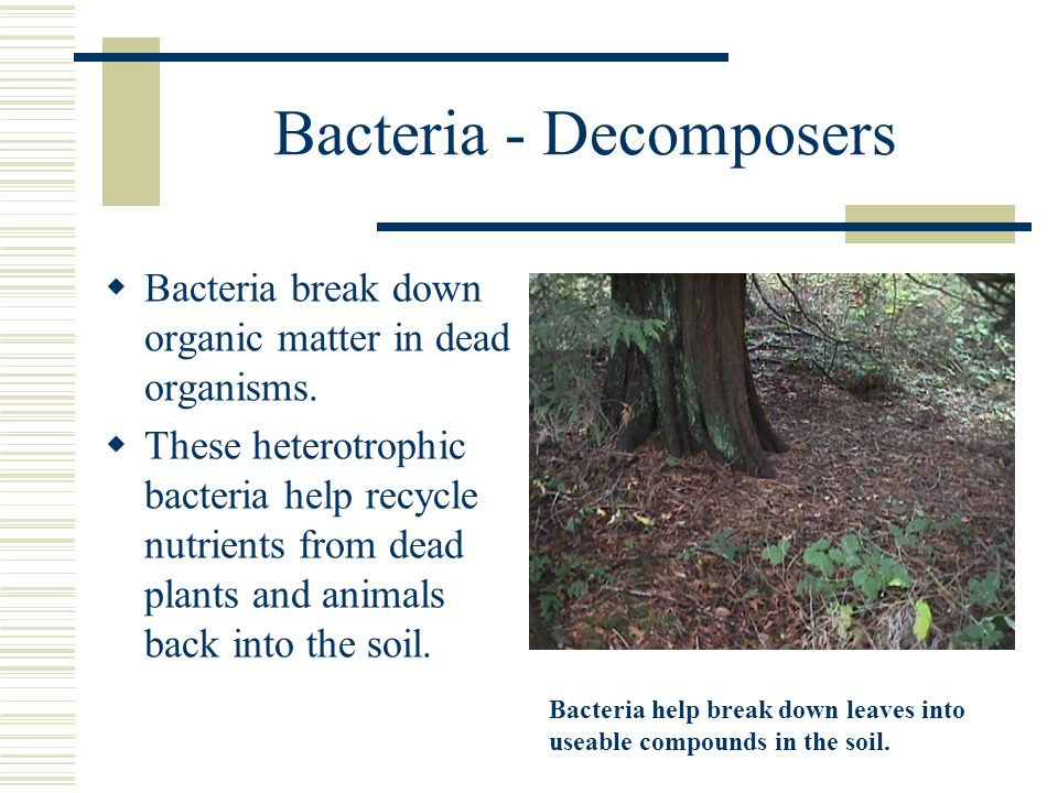 Bacteria - Decomposers