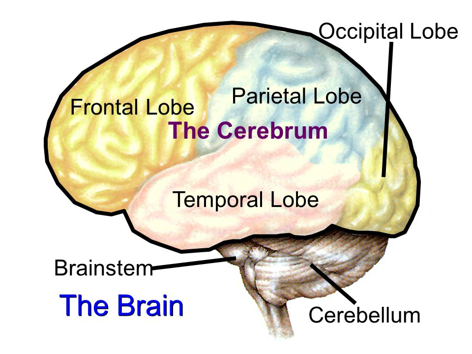 the temporal lobe and parietal lobe Temporal lobe the portion of the cerebral cortex that is just above the ears and that is involved in hearing, language processing, and memory parietal lobe.