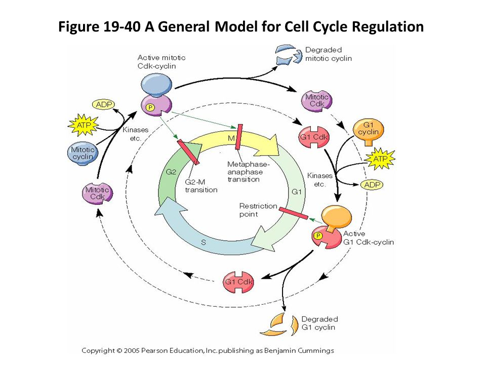 Cell division cell growth cell cycle ppt video online download 53 figure 19 40 a general model for cell cycle regulation ccuart Image collections