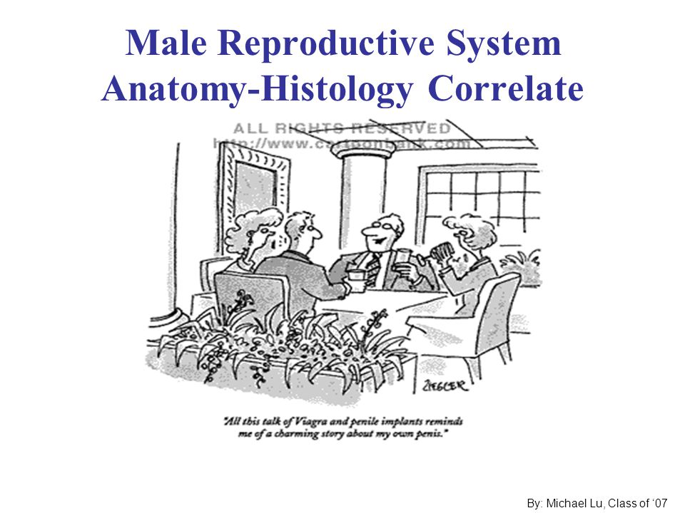 Male Reproductive System Anatomy-Histology Correlate - ppt video ...